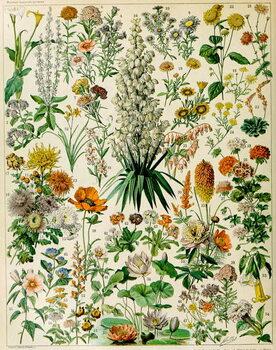 Reprodução do quadro Illustration of flowering plants c.1923