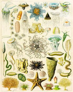Reprodução do quadro Illustration of Marine organisms c.1923