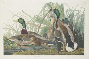 Reprodução do quadro Mallard Duck, 1834