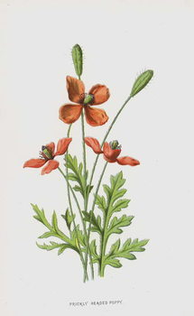 Reprodução do quadro Prickly Headed Poppy