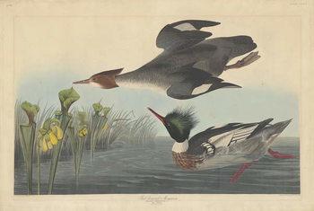 Reprodução do quadro  Red-breasted Merganser, 1838