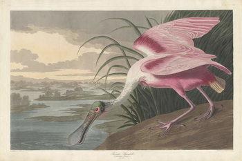 Reprodução do quadro Roseate Spoonbill, 1836