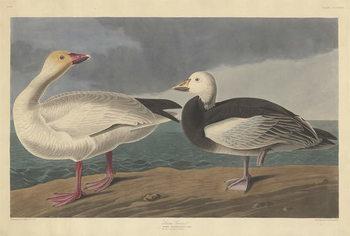 Reprodução do quadro Snow goose, 1837