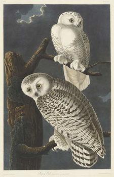 Reprodução do quadro  Snowy Owl, 1831