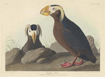 Reprodução do quadro Tufted Auk, 1835
