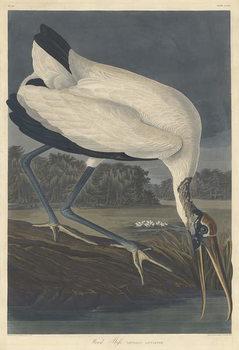 Reprodução do quadro Wood Ibis, 1834