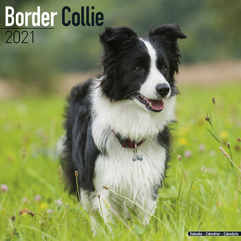 Calendar 2021 Border Collie