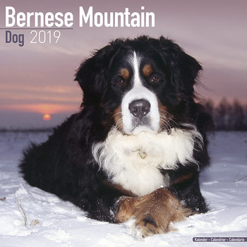 Calendar 2019  Bernese Mountain Dog