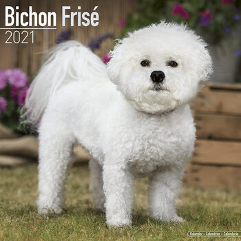 Calendar 2021 Bichon Frise