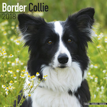 Calendar 2018 Border Collie