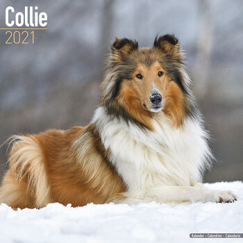 Calendar 2021 Collie