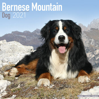 Calendário 2021 Bernese Mountain Dog