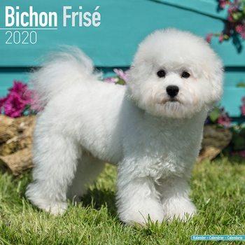 Calendário 2020  Bichon Frise