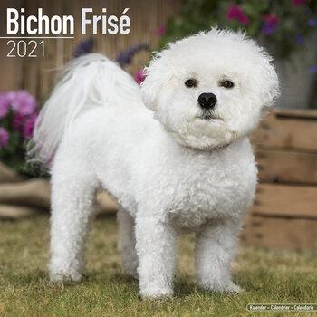 Calendário 2021 Bichon Frise