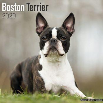 Calendário 2020  Boston Terrier