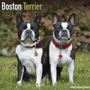 Calendário 2021 Boston Terrier