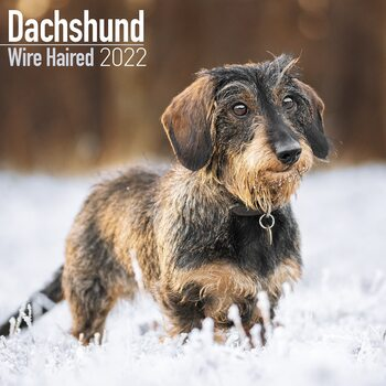 Calendário 2022 Wirehaired Dachshund