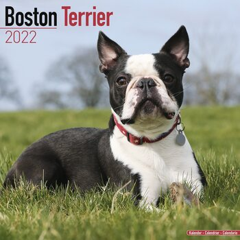 Calendar 2022 Boston Terrier