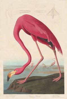 American Flamingo, 1838 Canvas Print