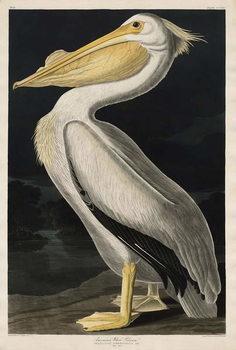 American White Pelican, 1836 Canvas Print