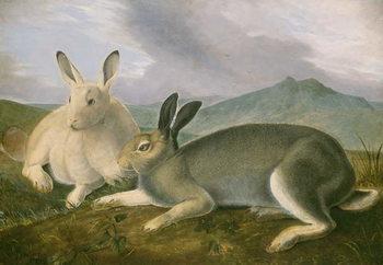 Arctic Hare, c.1841 Canvas Print