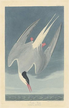 Arctic Tern, 1835 Canvas Print