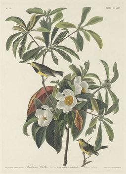 Bachman's Warbler, 1834 Canvas Print