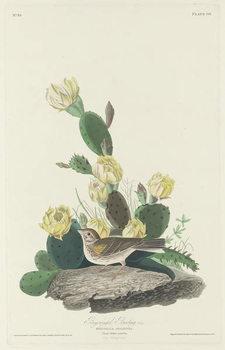 Bay-winged Bunting, 1830 Canvas Print