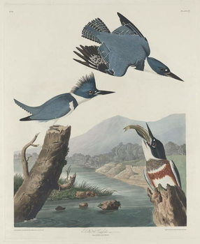 Belted Kingsfisher, 1830 Canvas Print