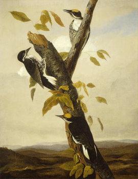 Black-Backed Three-Toed Woodpecker, 1831-3 Canvas Print
