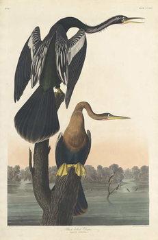 Black-bellied Darter, 1836 Canvas Print