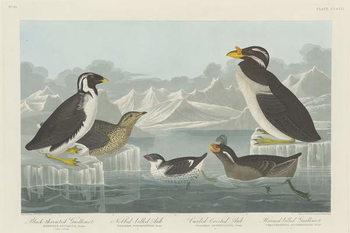 Black-throated Guillemot, Nobbed-billed Auk, Curled-Crested Auk and Horned-billed Guillemot1838 Canvas Print