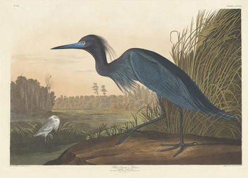 Blue Crane or Heron, 1836 Canvas Print