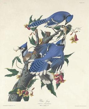 Blue Jay, 1831 Canvas Print