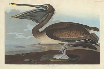 Brown Pelican, 1838 Canvas Print
