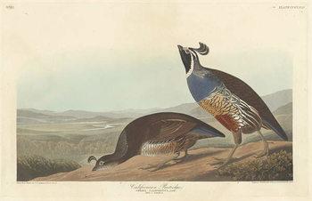 Californian Partridge, 1838 Canvas Print