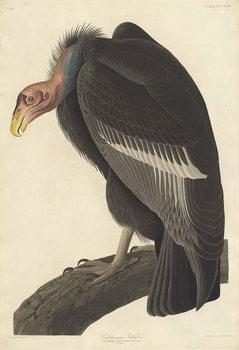 Californian Vulture, 1838 Canvas Print