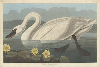 Common American Swan, 1838 Canvas Print