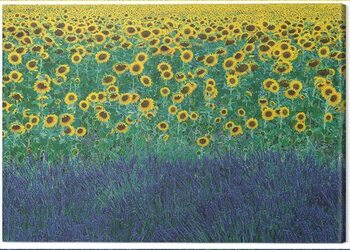 Canvas Print David Clapp - Sunflowers in Provence, France
