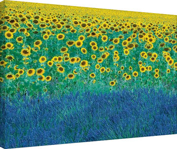 David Clapp - Sunflowers in Provence, France Canvas Print