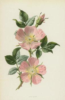 Dog-Rose Canvas Print
