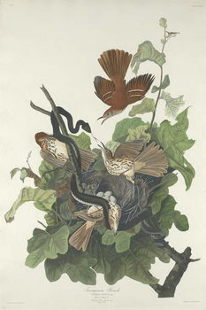 Ferruginous Thrush, 1831 Canvas Print