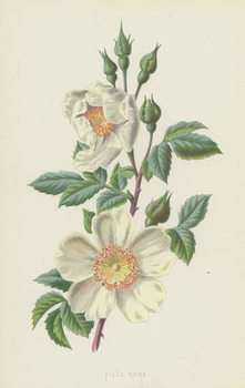 Field Rose Canvas Print