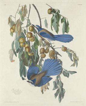 Florida Jays, 1830 Canvas Print