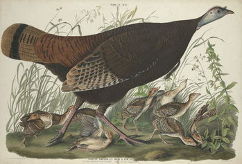 Great American Hen and Young, 1827 Canvas Print