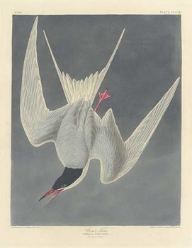 Great Tern, 1836 Canvas Print