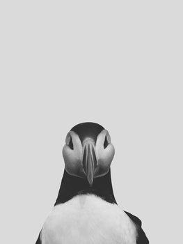 Grey puffin Canvas Print