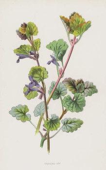Ground-Ivy Canvas Print