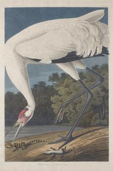 Hooping Crane, 1834 Canvas Print