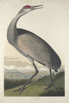 Hooping Crane, 1835 Canvas Print